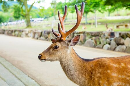unharmed: Majestetic deer in Nara park, Japan. Holy animal for japanese religious people.