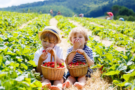 Two little sibling kid boys having fun on strawberry farm in summer. Children eating healthy organic food, fresh berries. Stock Photo