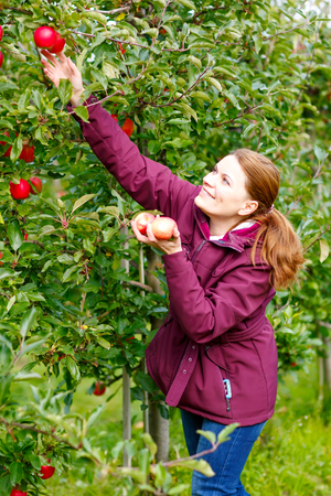 Young happy woman picking red organic fresh apples on organic farm. Girl having fun with harvesting of fresh healthy fruits photo