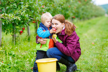 young mother and adorable little kid byo picking organic apples in an orchard, outdoors. family having fun with harvesting of fresh healthy fruits photo