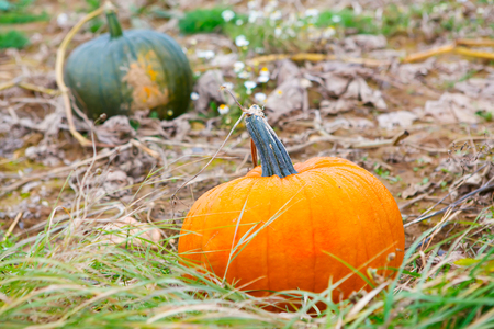 Pumkin field with different pumpkins, green and orange on autumn day Stock Photo