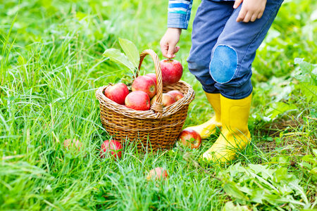 Legs of kid in yellow rain boots and red apples on organic farm, autumn outdoors. child having fun with helping and harvesting