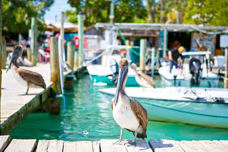 Big brown pelicans in port of Islamorada, Florida Keys. Waiting for fish at Robbies Marina