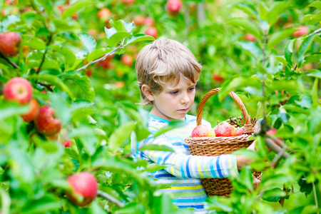 Beautiful blond happy kid boy picking and eating red apples on organic farm, autumn outdoors. Funny little preschool child having fun with helping and harvesting Stock Photo