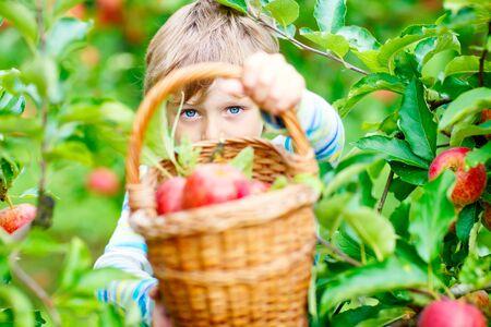 Little kid boy picking red apples on farm autumn