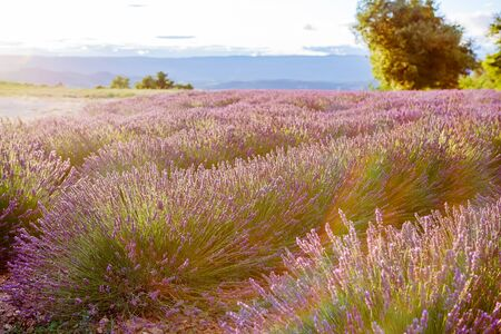 Lavender fields near Valensole in Provence, France.