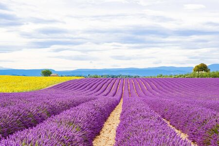 Blossoming lavender and sunflower fields in Provence, France. Stock Photo