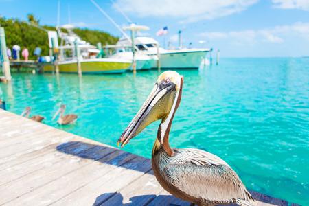 Gros pélicans bruns à Islamorada, Florida Keys Banque d'images - 77134414