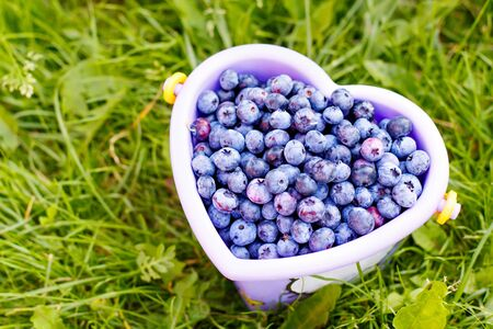 Bucket full of tasty healthy blueberries on green grass background at self picking berry farm. Bucket as heart on organic field or plantation Imagens