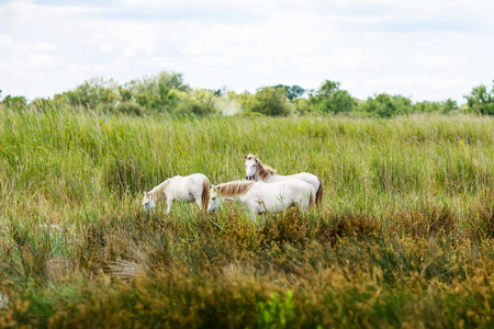 夏の午後に湿地で放牧、カマルグ、プロヴァンス、フランスの野生の白い馬 写真素材