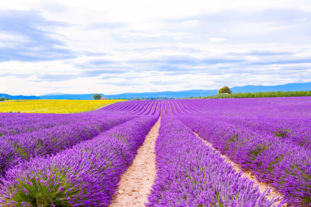 Blossoming lavender and sunflower fields near Valensole in Provence, France. Rows of purple and yellow flowers. Famous, popular destination  for tourists for making vacations in summer.
