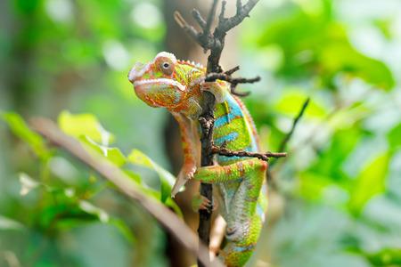 Kameleon Furcifer pardalis Ambilobe, panterkameleon jon een boom