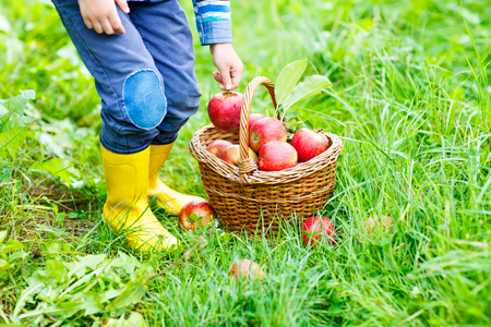 Legs of kid in yellow rain boots and red apples
