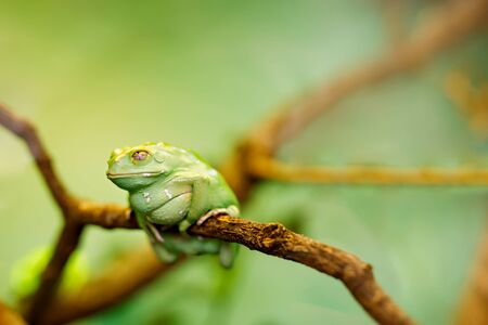 American green tree frog on a tree