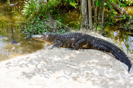 플로리다 습지에서 미국 악어. 미국에 버 글레이즈 국립 공원입니다. 스톡 콘텐츠