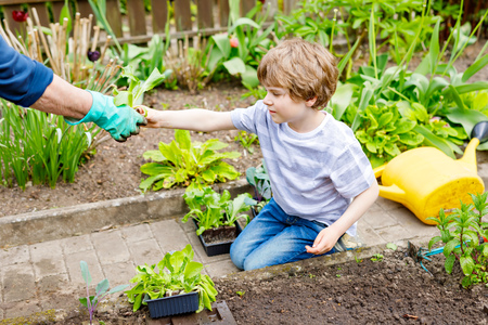 Cute little preschool kid boy and mother planting green salad in spring