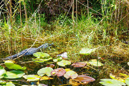 American Alligator in Florida Wetland. Everglades National Park in USA. Stock Photo