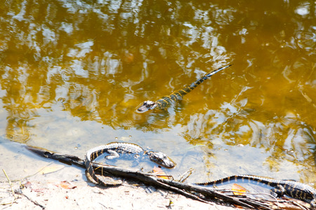 American baby alligators in Florida Wetland. Everglades National Park in USA. Little gators. Stock Photo