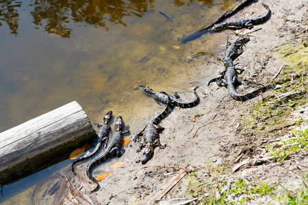 American baby alligators in Florida Wetland. Everglades National Park in USA. Little gators. Stock Photo