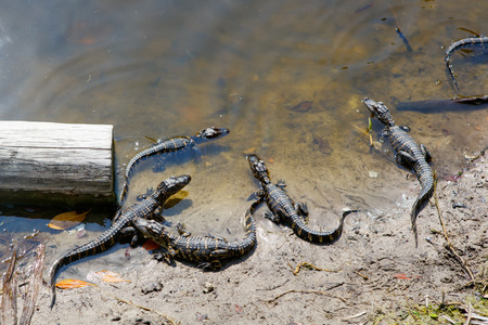 Group of American baby alligators in Florida Wetland. Everglades National Park in USA. Little gators. Popular place for tourists, wild nature and animals. Stock Photo