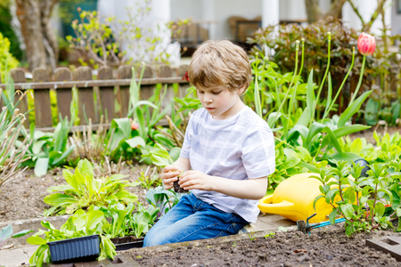 Cute little preschool kid boy planting green salad seedlings in spring