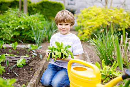 Cute little preschool kid boy planting green salad seedlings in spring
