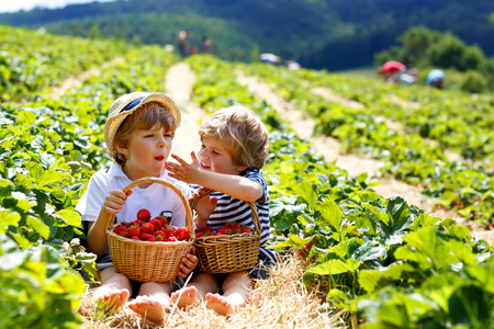 Two little sibling boys on strawberry farm in summer 스톡 콘텐츠