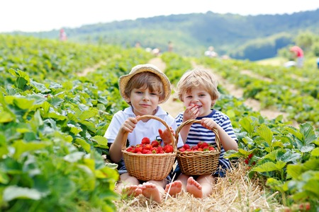 Two little sibling boys on strawberry farm in summer Stock Photo