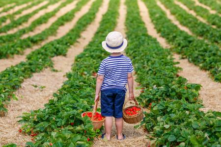 Little kid boy picking strawberries on organic bio farm, outdoors.