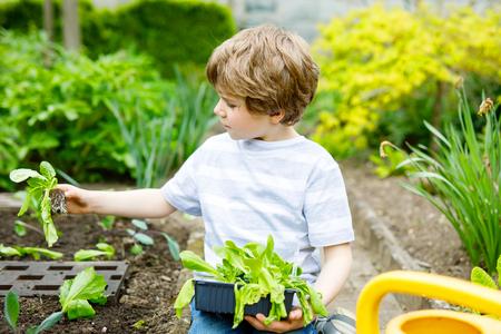 Cute little preschool kid boy planting green salad in spring.