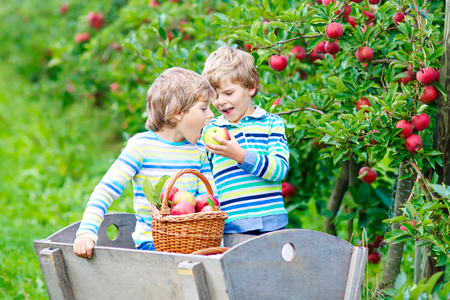 Two adorable happy little kids boys picking and eating red apples on organic farm Stockfoto