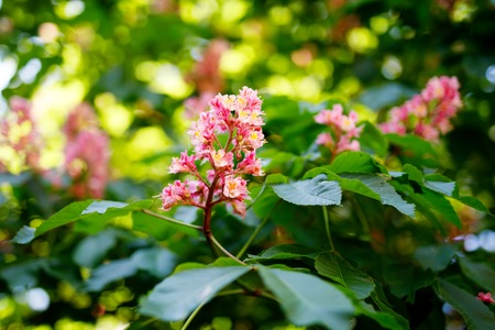 Pink blooming chestnut flower. Blossoming tree in park