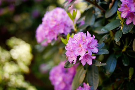 Blooming hybrid Azalia Rhododendron hybridum selection in a greenhouse. flower background. Blossoming flowers Stock Photo