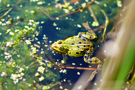 Close-up of a water frog hiding behind grasses in the water pond.