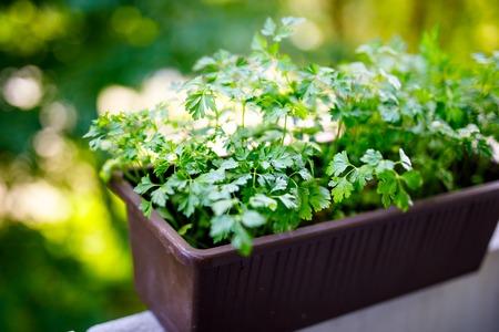 Perejil verde fresco en el balcón. Hierbas saludables para cocinar.