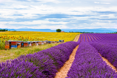 Blossoming lavender and sunflower fields near Valensole in Provence, France. Stock Photo