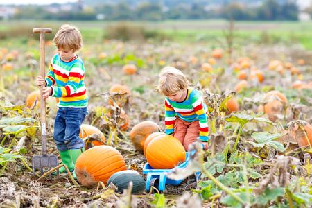 Two little kids boys picking pumpkins on Halloween or Thanksgiving pumpkin patch