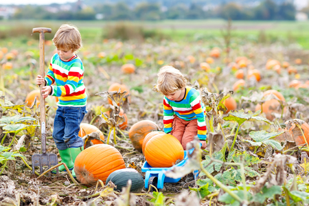 Two little kids boys picking pumpkins on Halloween or Thanksgiving pumpkin patch