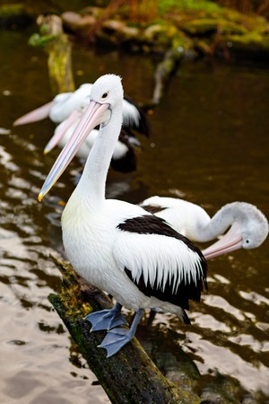 Beautiful white, grey pelicans in bird zoo park in Walsrode, Germany. Interesting park for families, children and school excursion trips Stock Photo - 110847042