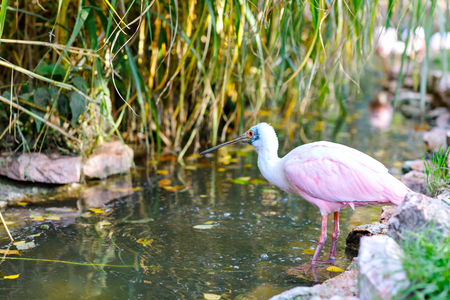 Beautiful pink spoonbill bird. Animal and bird park in Walsrode, Germany 写真素材