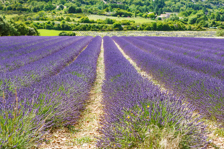 Blossoming lavender fields in Provence, France. On summer sunny day. Valensole in Europe. Beautiful lila blooming flower fields.