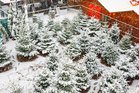 Traditional German christmas market with sale of Xmas trees in the historic center of a city in Germany during snowfall. Christmas trees covered with snow on winter day.