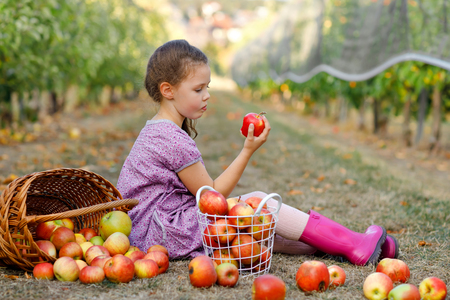 Portrait of little schoool girl in colorful clothes and rubber gum boots with red apples in organic orchard. Adorable happy healthy baby child picking fresh ripe fruits from trees and having fun.