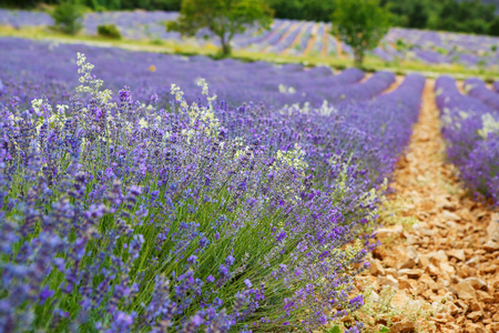 Blossoming lavender fields in Provence, France. On summer sunny day