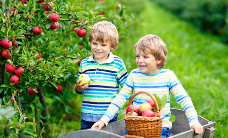 Two adorable happy little kids boys picking and eating red apples on organic farm, autumn outdoors. Funny little preschool children, siblings, twins and best friends having fun with helping harvesting Reklamní fotografie
