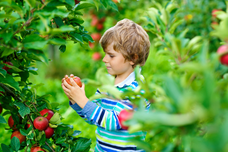 Active happy blond kid boy picking and eating red apples on organic farm, autumn outdoors. Funny little preschool child having fun with helping and harvesting.