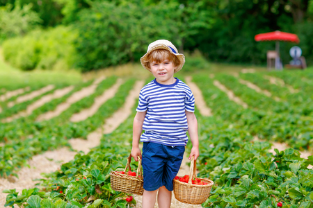 Happy adorable little kid boy picking and eating strawberries on organic berry bio farm in summer, on warm sunny day. Funny child having fun with helping. Strawberry plantation field, red berries. Reklamní fotografie
