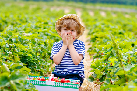 Happy adorable little kid boy picking and eating strawberries on organic berry bio farm in summer, on warm sunny day. Funny child having fun with helping. Strawberry plantation field red berries.