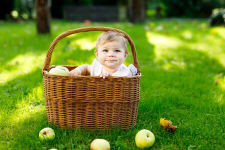 Cute baby girl sitting in basket full with ripe apples on a farm in early autumn. Little baby girl playing in apple tree orchard. Kids pick fruit in a basket. Healthy nutrition