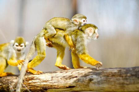 Family of playful quirrel monkeys in a zoo. Animals playing together. Baby monkey hanging on mother